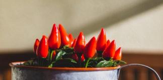 come essiccare i peperoncini